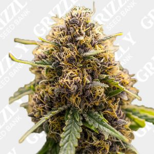 True Gold OG Feminized Seeds