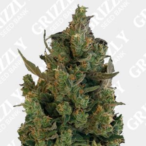 Blueberry Cheese Feminized Seeds