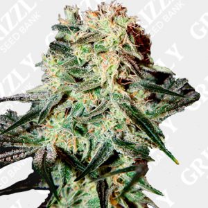 Arjan Strawberry Haze Feminized Seeds
