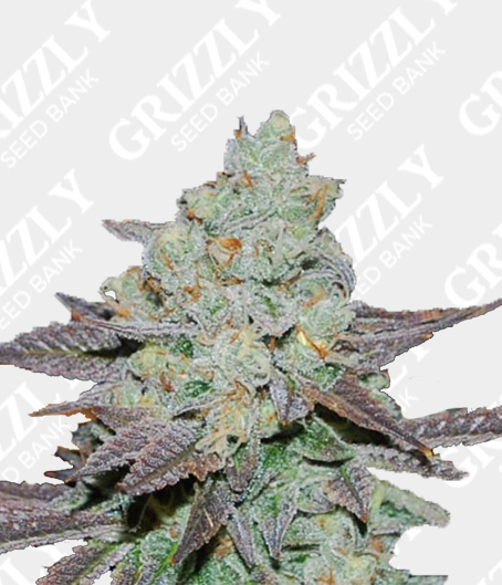 Sour Leda Regular Seeds