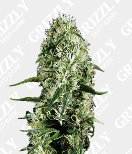 Super Silver Haze Feminized Seeds