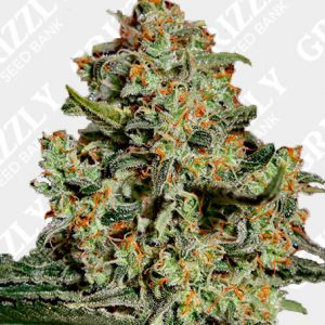 Big Bang Feminized Seeds