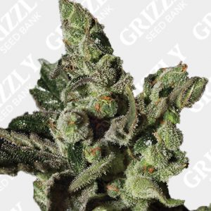 Exodus Cheese Feminized Seeds
