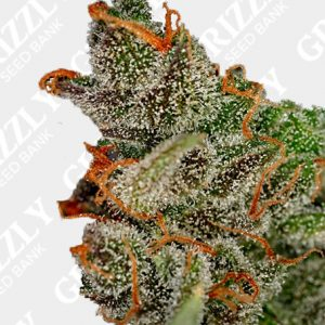 Kings Kush Feminized Seeds