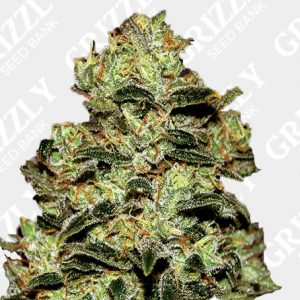 Moby Dick Feminized Seeds