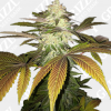 Orangesicle Feminized Seeds