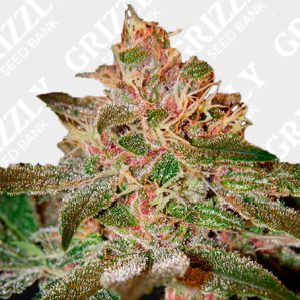 Pure Kush Feminized Seeds