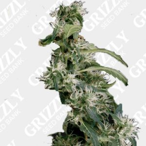 Arjan's Ultra Haze #2 Feminized Seeds