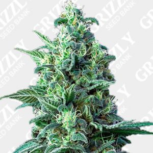 White Widow Auto CBD Seeds