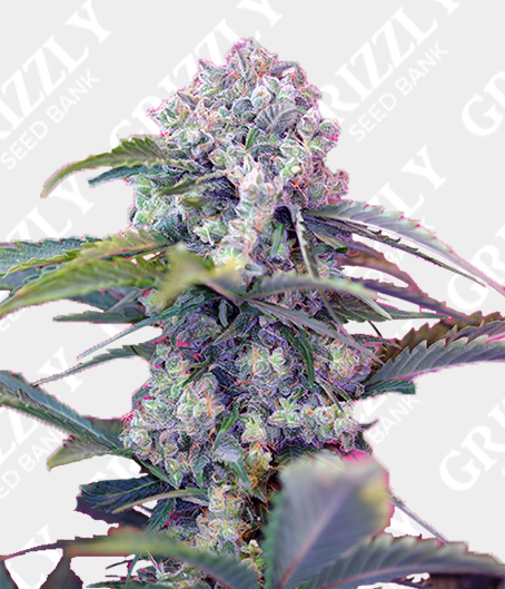 Cream Mandarine Auto® Seeds