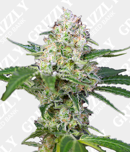 Crystal Candy® Feminized Seeds