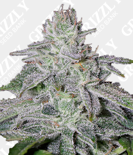 Franco's Lemon Cheese Feminized Seeds