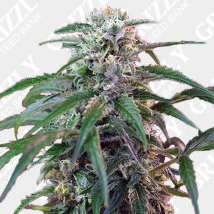 Green Poison Auto® Seeds