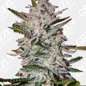 Holy Punch Feminized Seeds