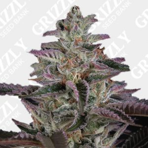 Banana Krumble Feminized Seeds