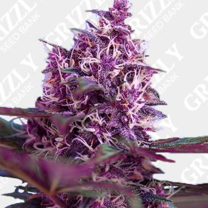 Red Poison Auto® Seeds