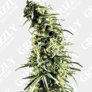 Hawaiian Snow Feminized Seeds