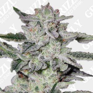 Sweet Valley Kush Feminized Seeds