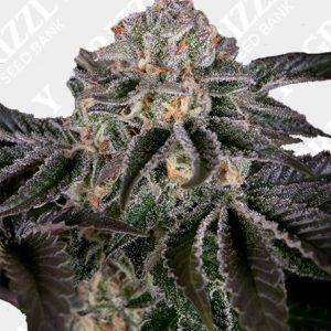 Wonder Pie Feminized Seeds