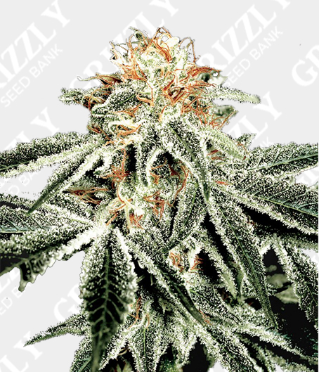 GH White Widow Feminized Seeds