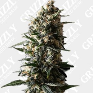 Bubba Slush Feminized Seeds