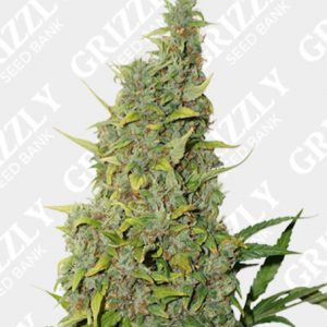 BCN Power Plant Feminized Seeds