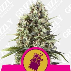 Chocolate Haze Feminized Seeds