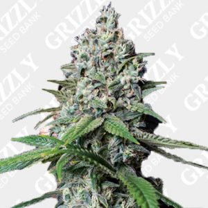 Cookies Gelato Feminized Seeds