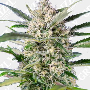 Crystal Candy Auto® Seeds