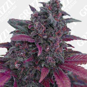 Dark Devil Auto® Seeds