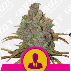 El Patron Feminized Seeds