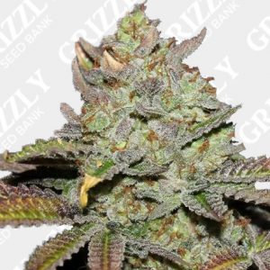 Girl Scout Cookies (Thin Mint) Feminized Seeds