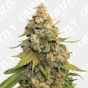 Golden Lemon Haze Feminized Seeds