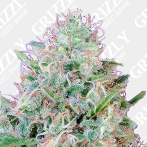 Green Poison® Feminized Seeds