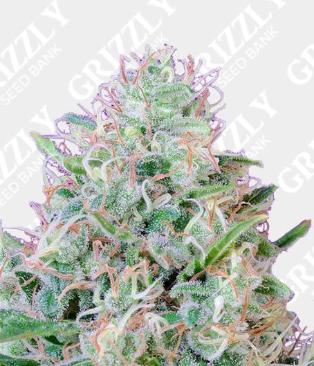 Green Poison® Feminized Seeds