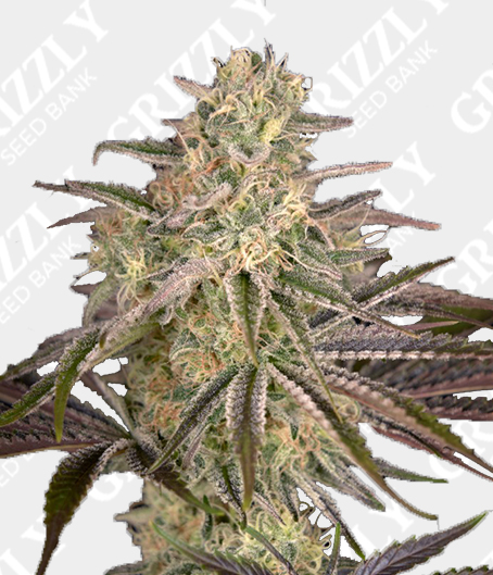Cloud Walker Feminized Seeds