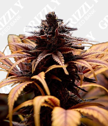 Deep Candy CBD Feminized Seeds