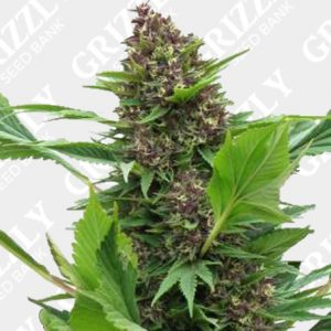 Frisian Duck® Feminized Seeds