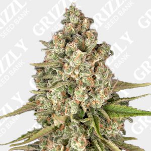 Lost Pearl Feminized Seeds