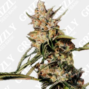 New Jack City Regular Seeds