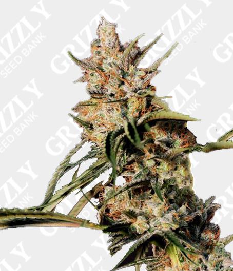 New Jack City Regular Seeds