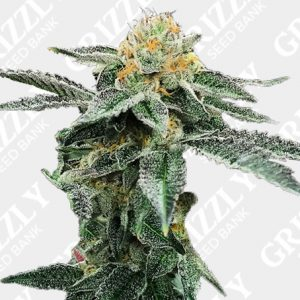 Kosher Cookies Feminized Seeds