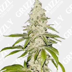 Mont Blanc Feminized Seeds