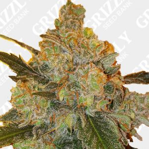 Sour Ananas Regular Seeds