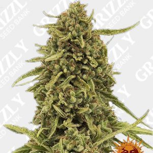 WIDOW REMEDY REGULAR™ Seeds
