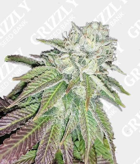 Zour Lemon Regular Seeds