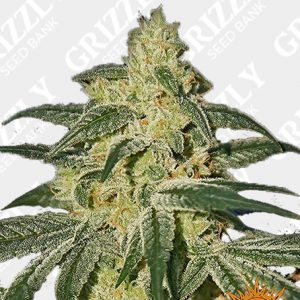 AFGHAN HASH PLANT REGULAR™ Seeds