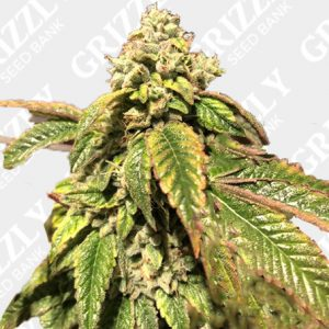 Blue Sherbalato Feminized Seeds