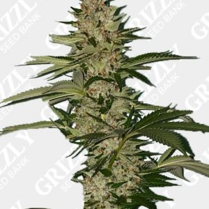 Banana Loaf Feminized Seeds