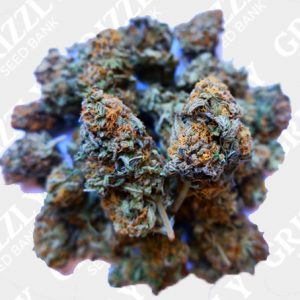 Critical Banana Smoothie Feminized Seeds
